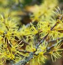 How to use Witch Hazel For Hemorrhoids ? In-depth Guide