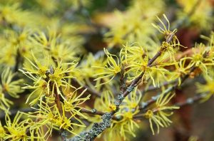in depth guide about how to use witch hazel for hemorrhoids